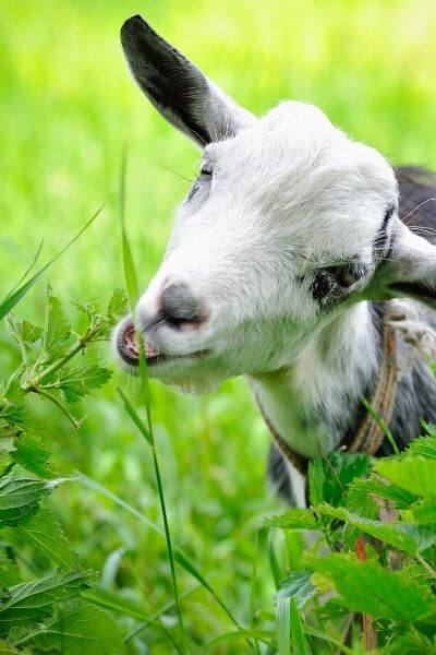 Goat eating grass in a lush field