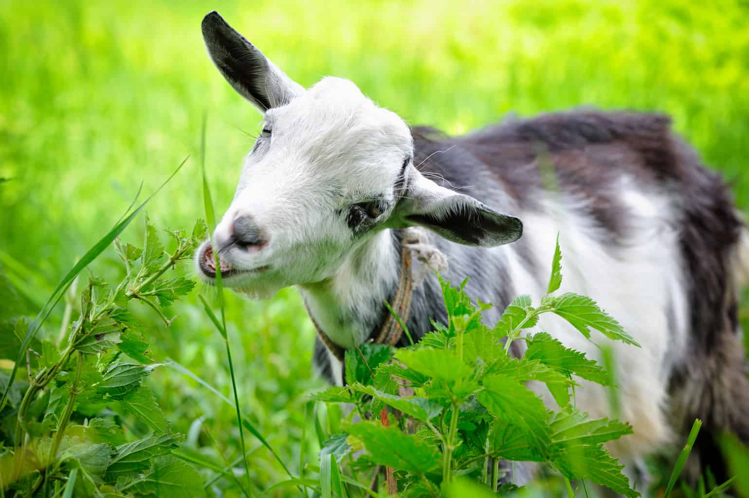 What do goats eat? Goat love eating grass and forage in a pasture