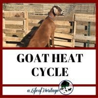 The 10 signs of your goat's heat cycle