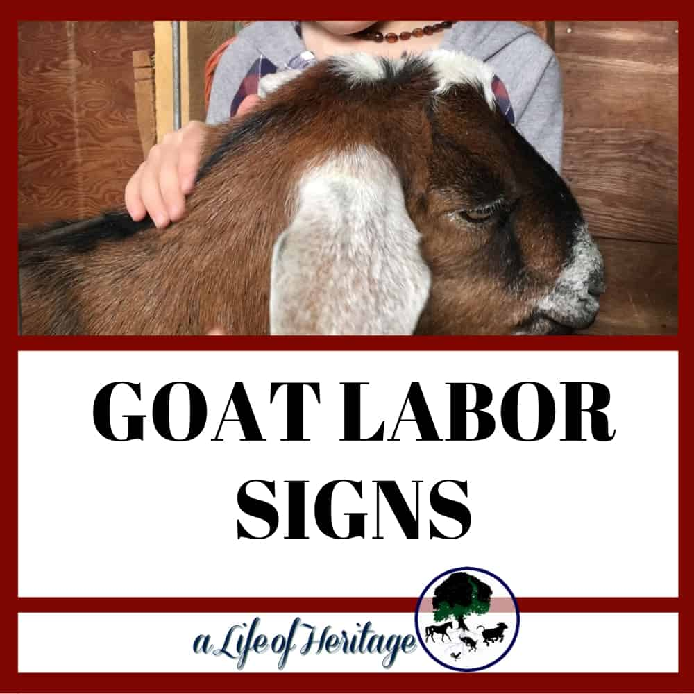 Goat labor signs that you need to know