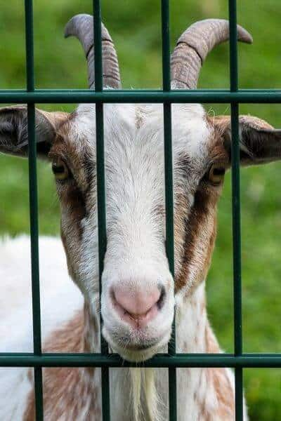 Goat waiting to be fed, looking through fence