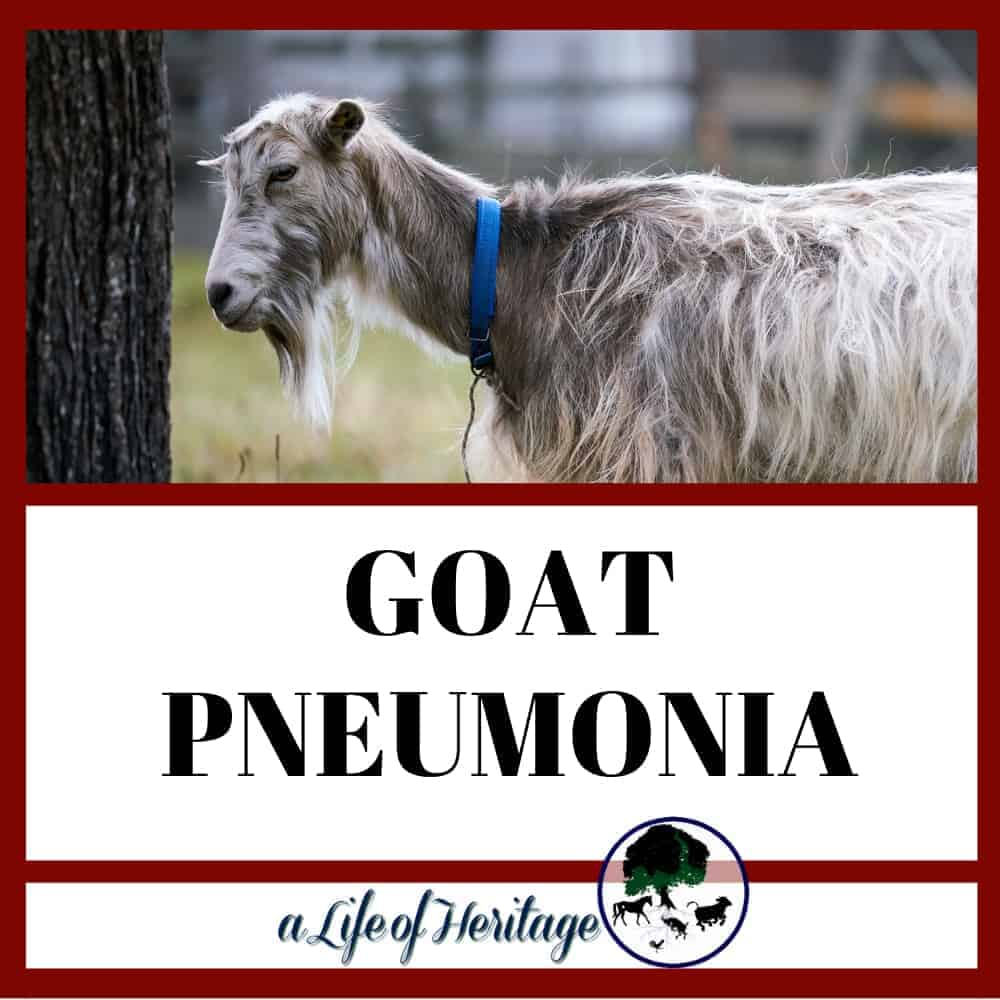 Goat Pneumonia: Causes, Symptoms, Treatment Plan