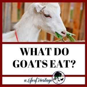What do goats eat?