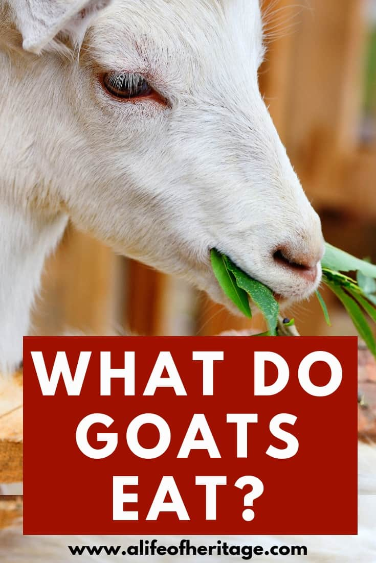 What do goats eat? Goats need to be fed properly to have optimal health!
