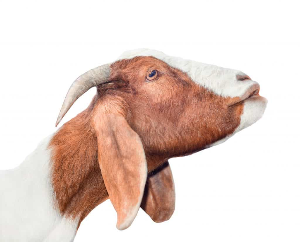 Giving goats copper boluses may be what's needed to keep them healthy.