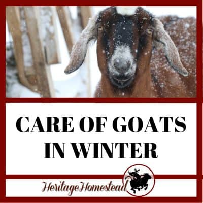 Goats in Winter: Care even in Negative Temperatures!