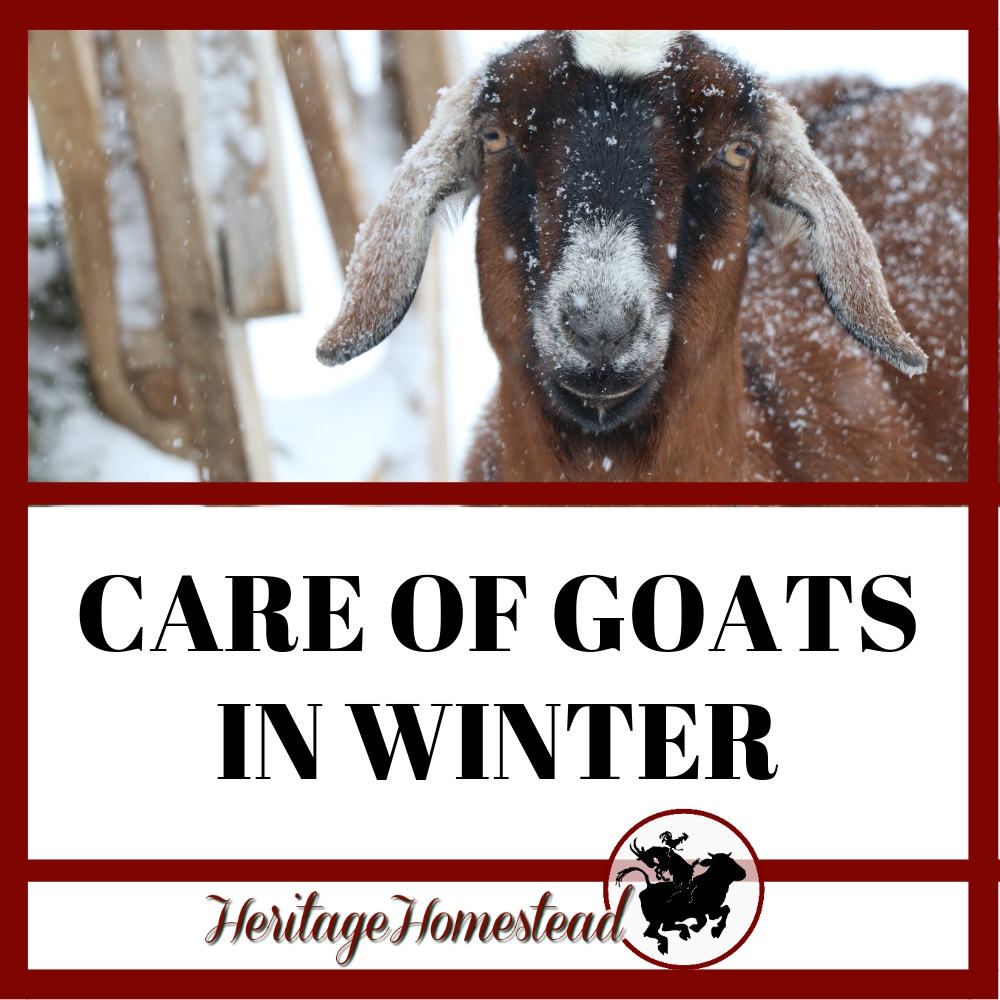 Care of goats in winter and how you can help them