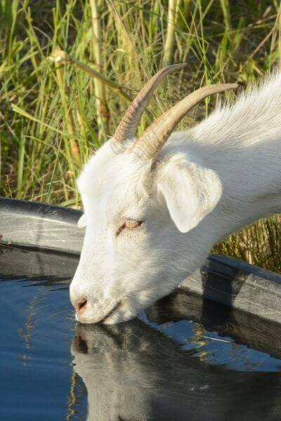 Goats need fresh water in the winter more than anything. You provide that for your goats to help keep them healthy in winter months.