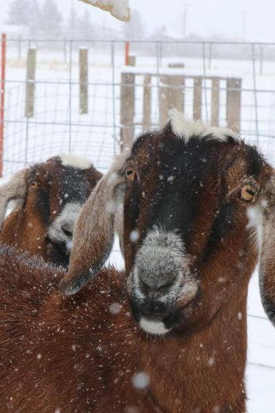 Winter goat care can seem daunting as a goat owner. But you can keep your goats healthy with these raising goats tips from someone who raised goats in the northern cold weather.