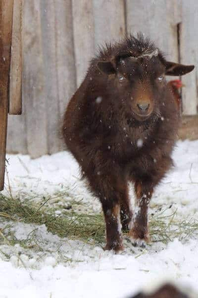 Bucks and does can be healthy in the winter months. Learn how to raise goats in the coldest months of winter on the farm!