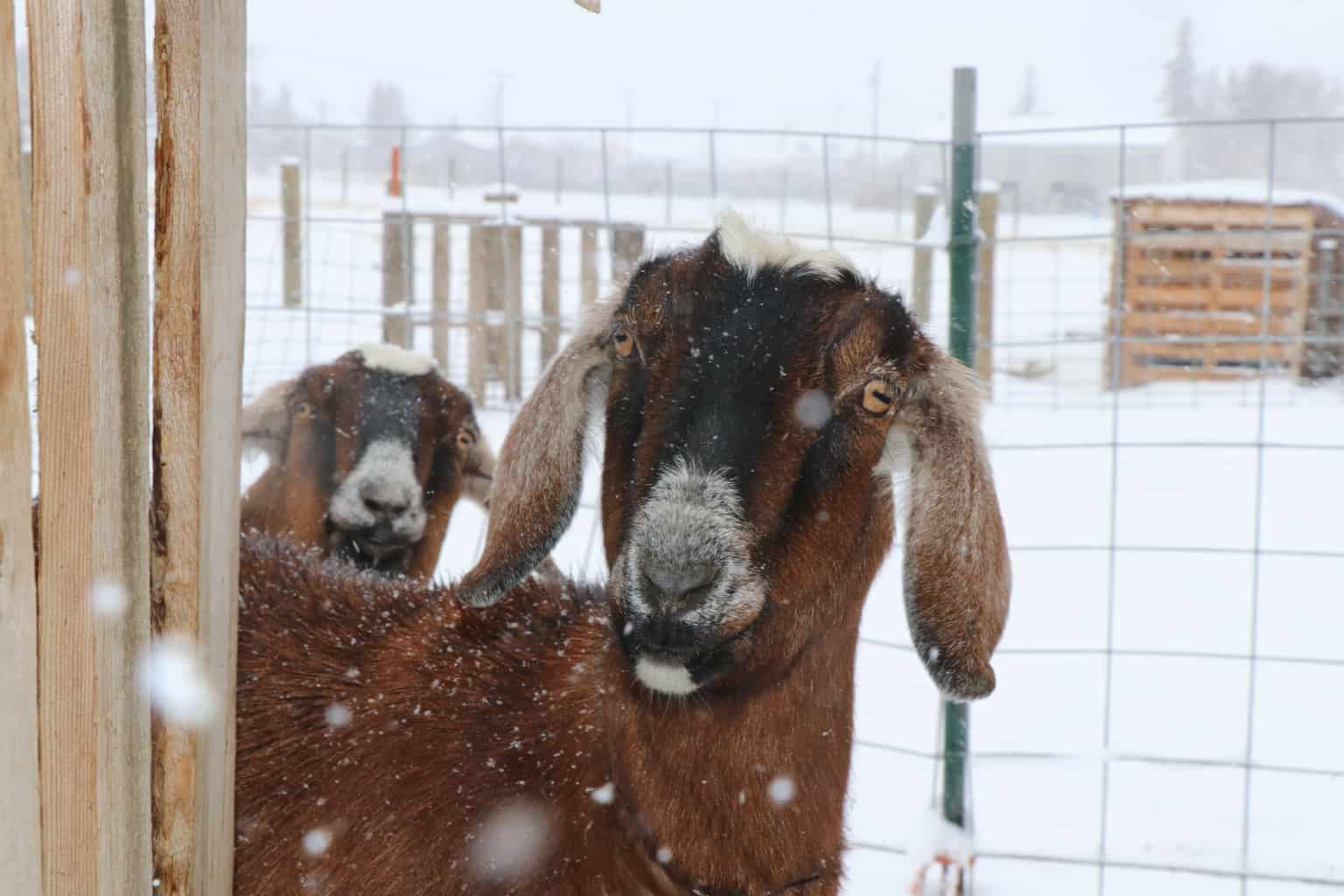 Goats standing in snow and how you can help keep them warm in cold temperatures.