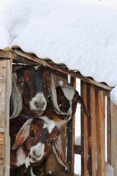 Raising goats in really cold weather is possible. Even in the very northern states. Learn what it takes to keep them safe and healthy during the winter months.