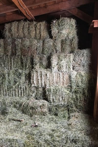Goat hay is an important part of keeping goats healthy in the winter months. Your goats in the winter need you to help them stay healthy