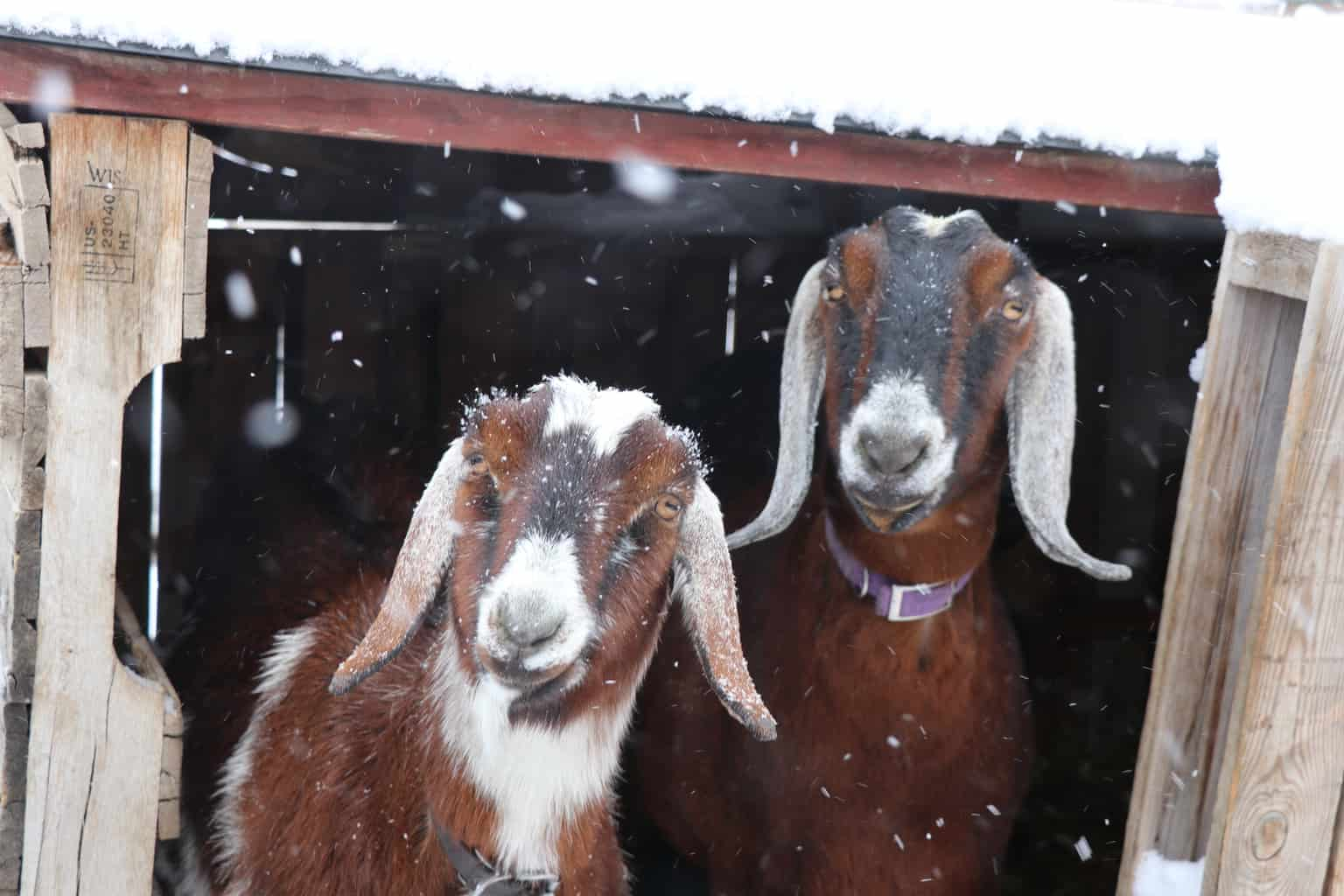 Goats need a warm shelter to help them stay warm in frigid temperatures!