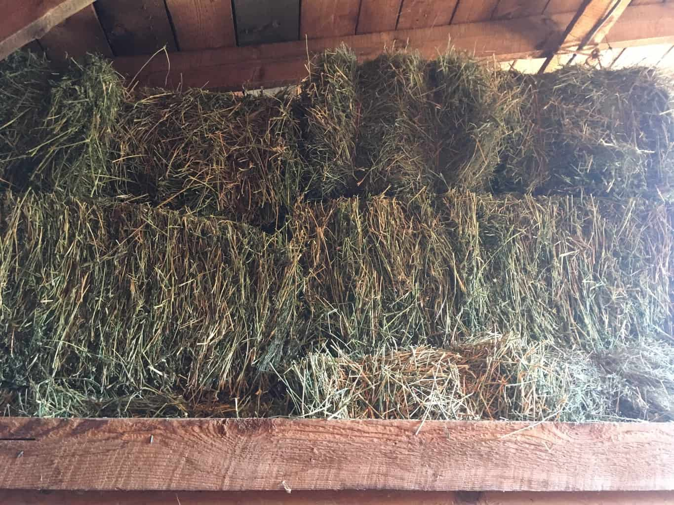 Goats in winter need a lot of hay to help keep them warm!