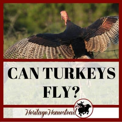 Can Turkeys Fly?