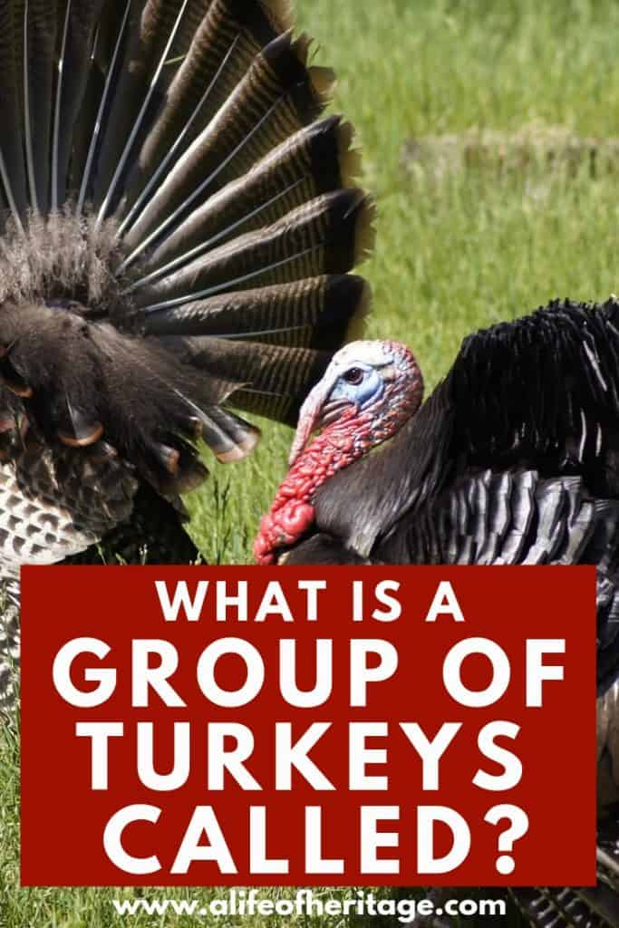 what is a flock of turkeys called