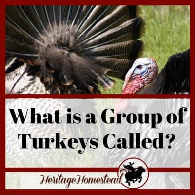 What is a Group of Turkeys Called?