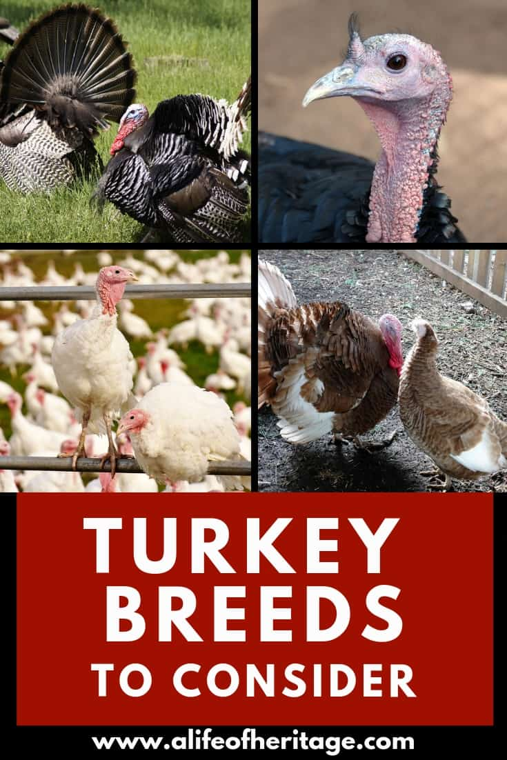 Turkey breeds to consider