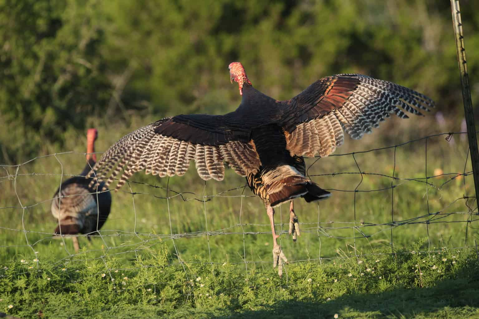 Turkey flying over a fence line. Can turkeys fly? Yes! Yes they can! Here's the facts