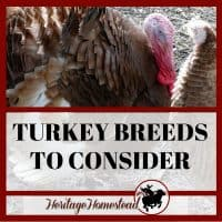 11 Turkey Breeds You NEED to Know About if You Plan to Raise Turkeys