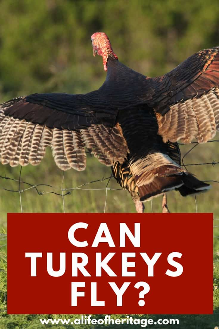 Some turkeys can fly and some can't. Find out the details here