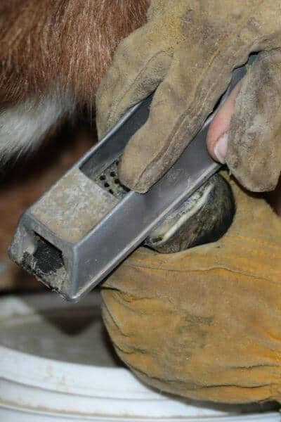 Rasping a goat's hoof after trimming
