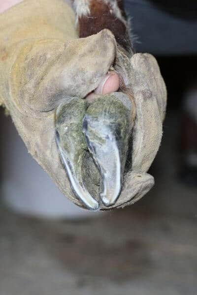 What a goat's hoof looks like after trimming