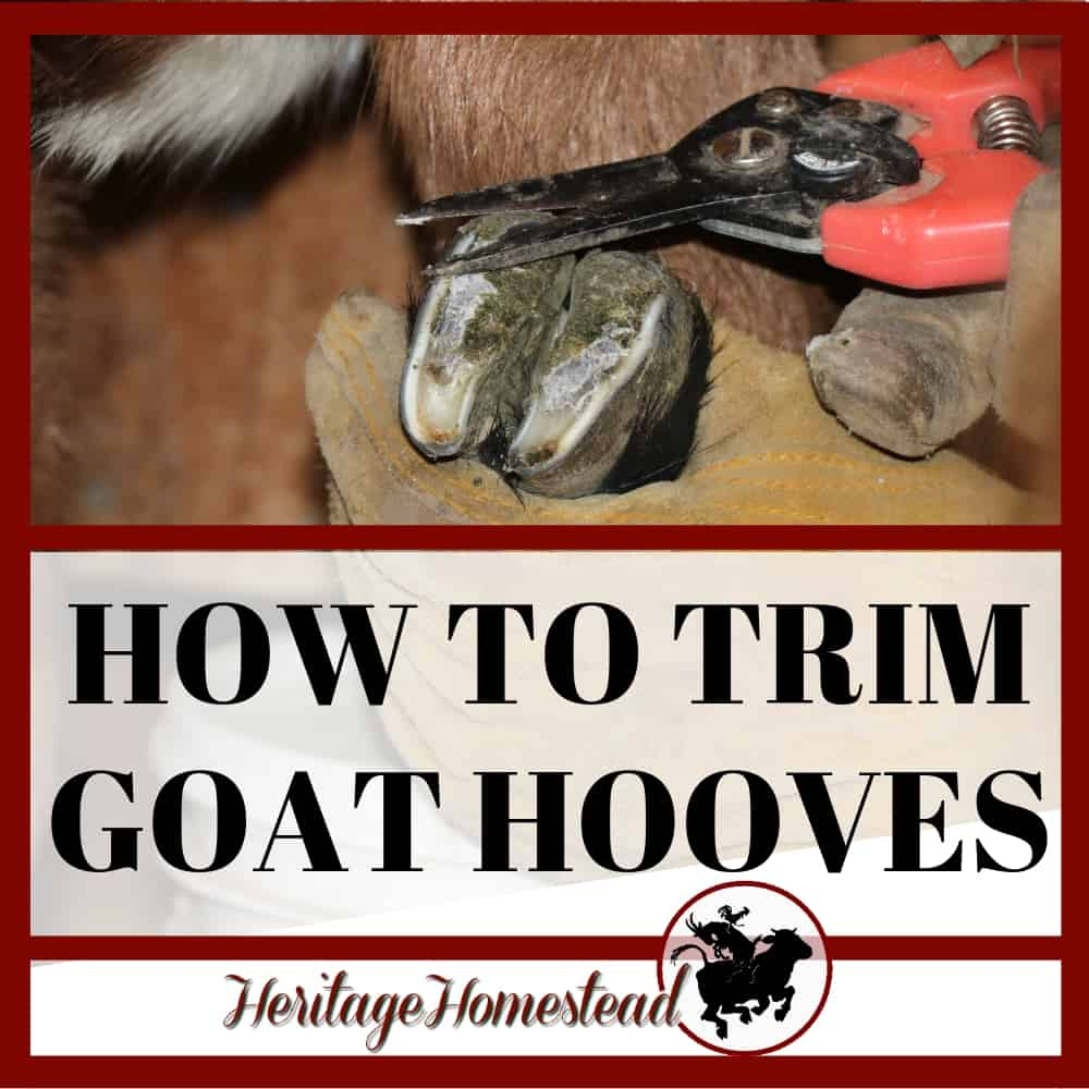 Learn how to trim goat hooves