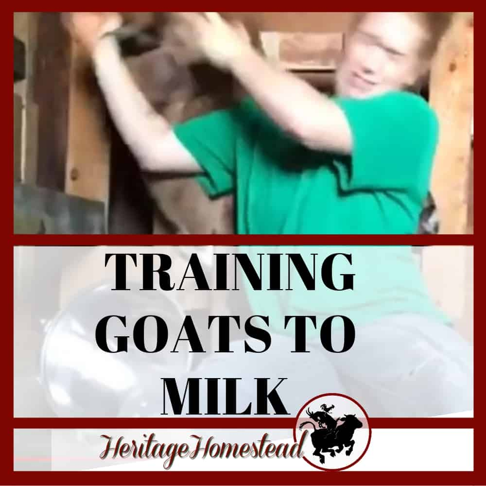 These tips will help you train your first freshener to milk