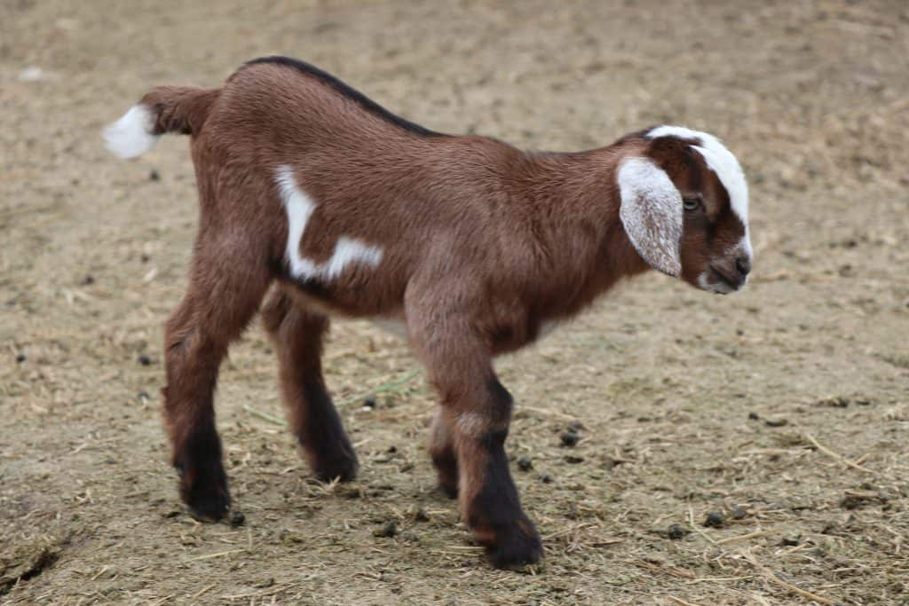 Mini Nubian buckling for sale in Lewistown Montana