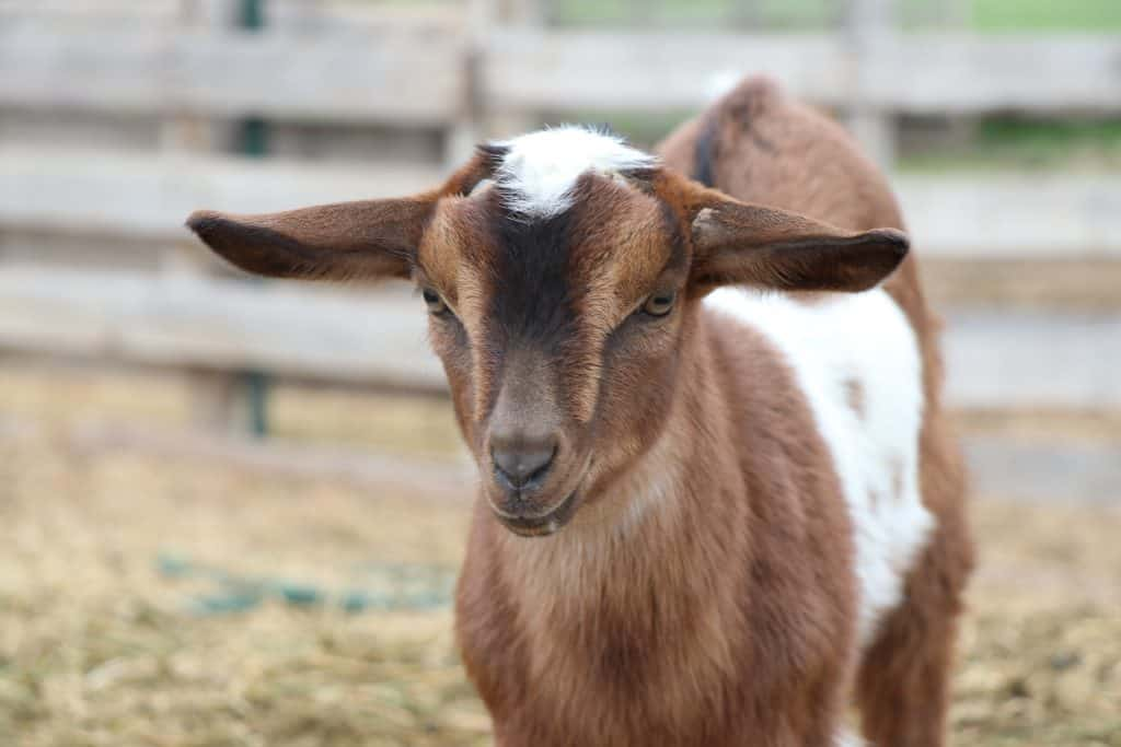 Handsome Mini-Nubian buckling for sale in Lewistown Montana