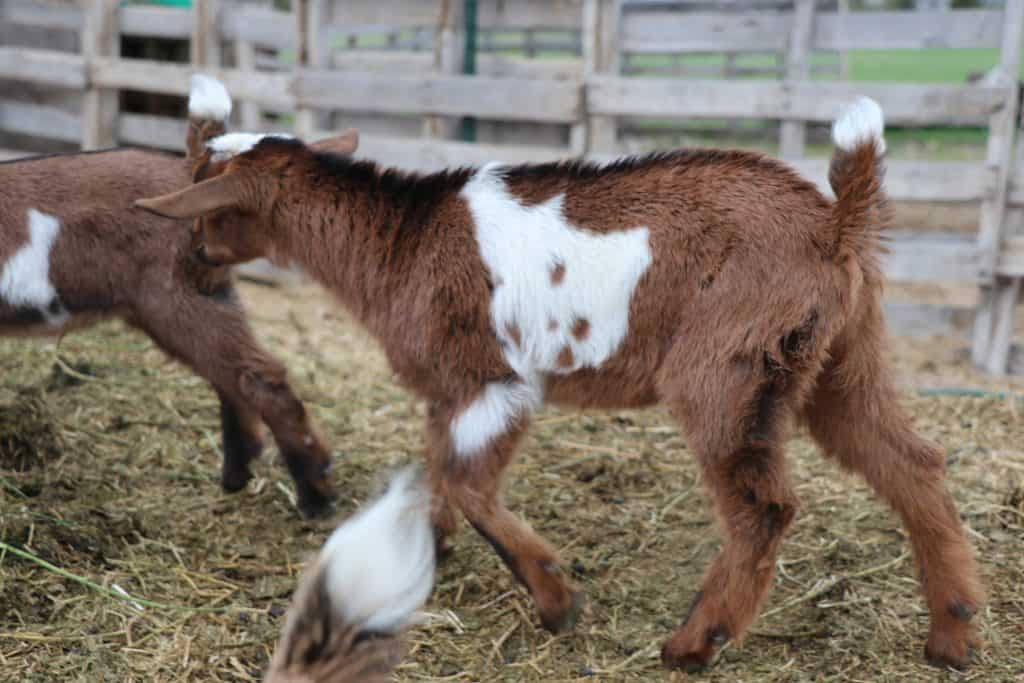 Mini Nubian Named Spencer for sale in Lewistown Montana