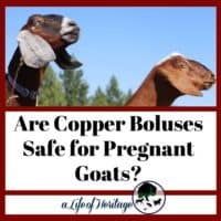Find out if copper boluses are safe for pregnant goats