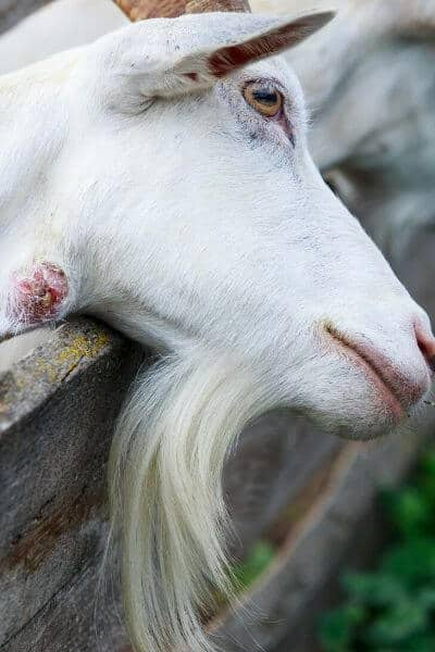 This goat has an abscess on its neck