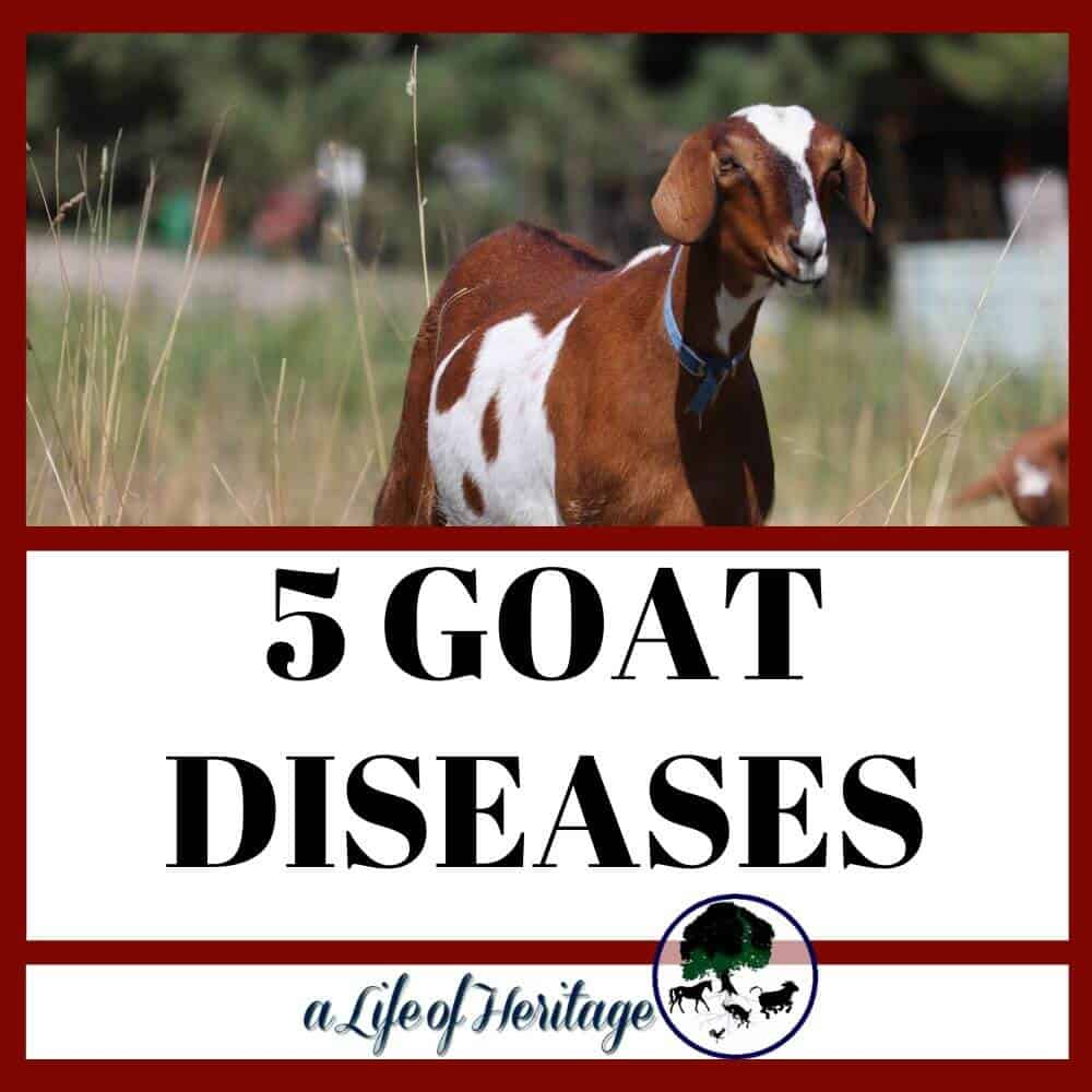 Goats get sick and these are the goat sicknesses that they can get