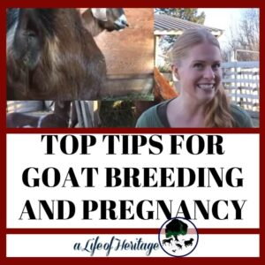 These are excellent tips for goat breeding and pregnancy