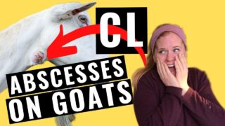 CL in Goats