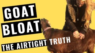 Goat Bloat: The AIRTIGHT Truth! + Treatment Plan and Prevention