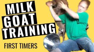 Training New Goats to Milk