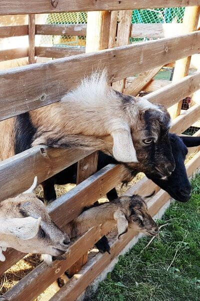 Goats looking through a wood fence