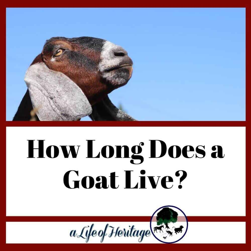 How long does a goat live? Find out here!