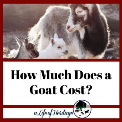 How Much Does a Goat Cost? And How Much Does a Baby Goat Cost?