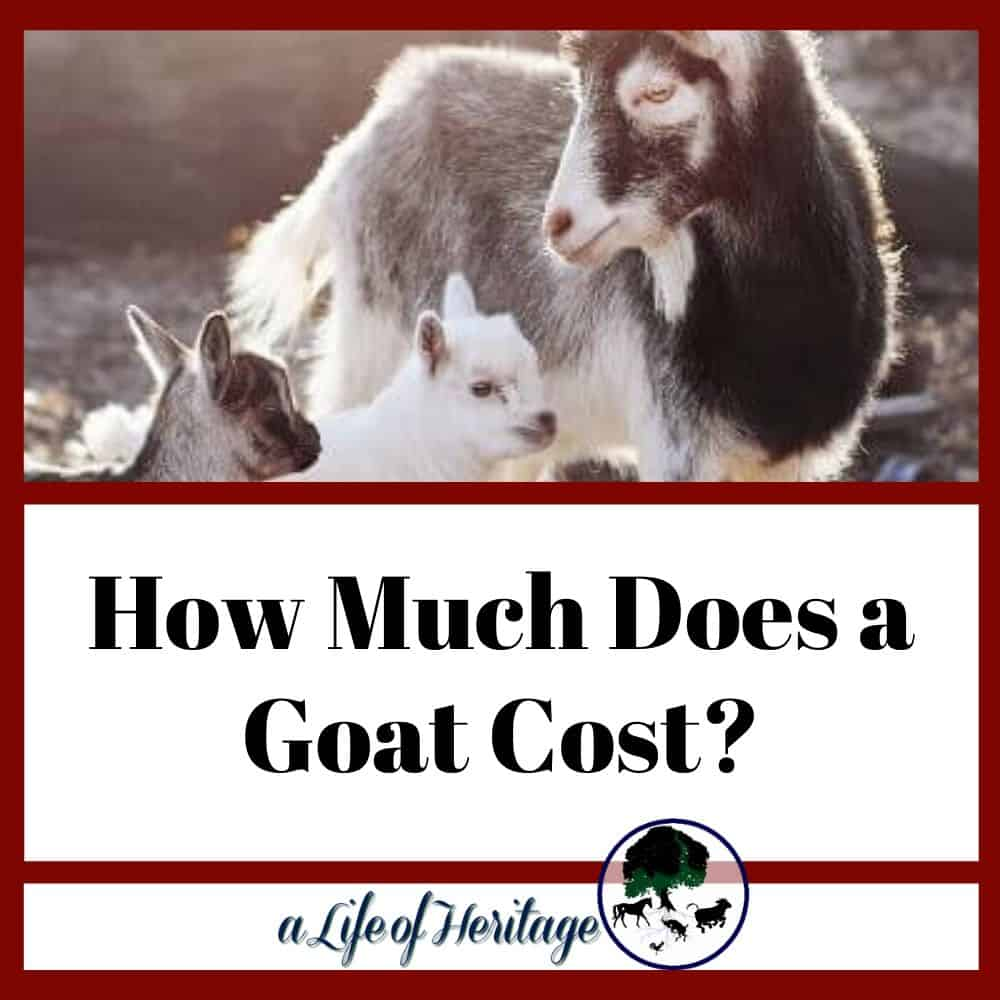 How much does a goat cost and how much does a baby goat cost?