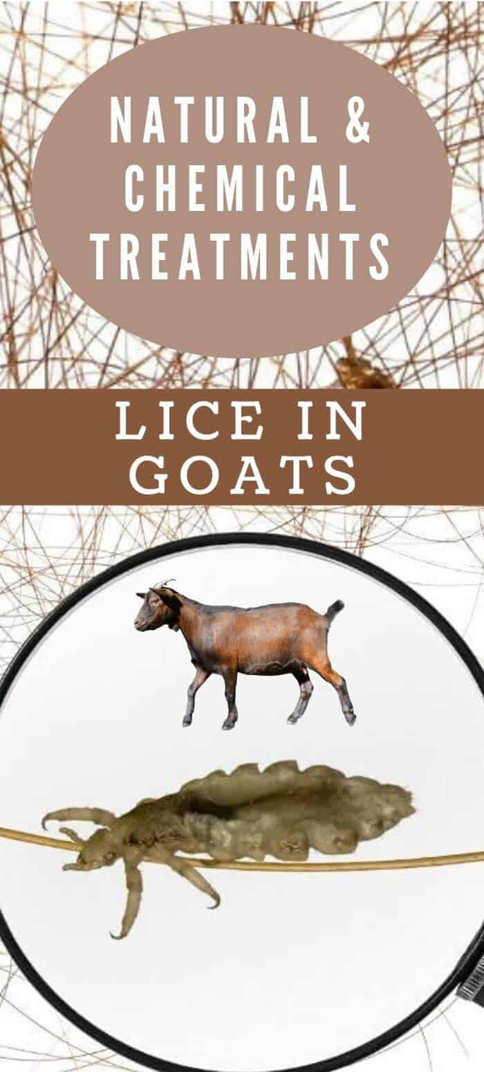 Lice in goats and how to treat naturally and with chemcals