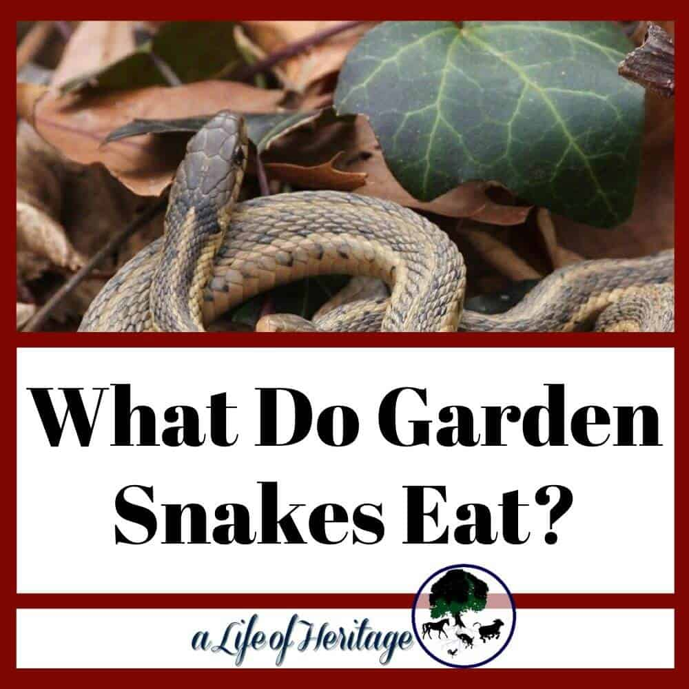 If you are concerned about what garden snakes eat?