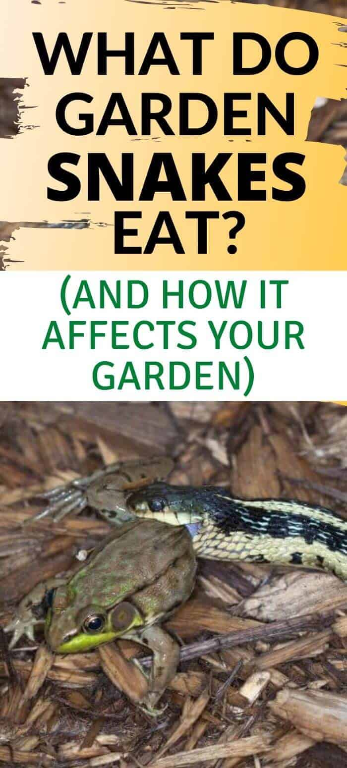 What do garden snakes eat and are they helpful to the garden? Find out here.