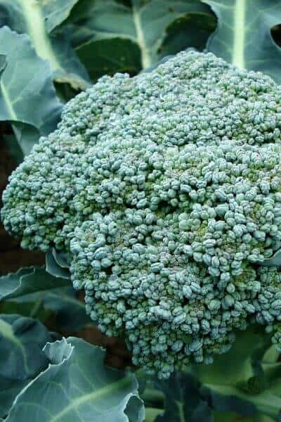 Broccoli is a cool weather vegetable that is a great vegetable to plant in early spring