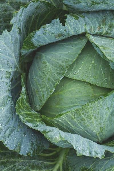 Cabbage is a must in any spring garden! A great option for vegetables to plant in early spring