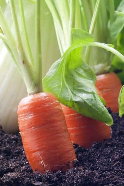 If you want a fast growing vegetable then a carrot will be an excellent option!
